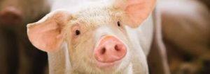 Cover photo for 2019 NE Regional Swine Conference